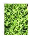 楽天緑の風yamashokuプレクトランサス アロマティカス 12ポットセット(2.5〜3号)特選ハーブ苗セット販売/お得なまとめ買い