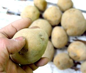 じゃがいも 種芋 種イモ 送料無料 インカのめざめ 種