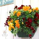 ビオラのハンギングバスケット寄せ植え*「オレンジベリー」(シンプル)ご自宅用からプレゼントにも。(春 冬・寄せ植え・ギフト・ガーデニング・苗・セット・誕生日プレゼント・新築祝いなど