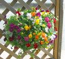 """""""よく咲くスミレ""""のプレミアムハンギング寄せ植え*レインフェスタ*半年以上も咲き続ける花です♪(寄せ植え)"""