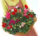 【送料無料】ガーデンシクラメンのメガ盛り寄せ植え*ジュエリーBOX〜Grande*シクラメン 寄せ植え