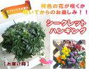 どんな花色か、、咲くまで分からないドキドキ感をお届け!パンジー&ビオラのハンギング寄せ植え「シークレットハンギング」(寄せ植え)