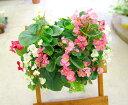 ベゴニアのハンギング寄せ植え [ピーチ(シンプル)] 開花期間:春から晩秋まで(寄せ植え/セット/ギ