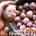 【じゃがいも 種芋 種イモ】黄色い身は濃厚ホックホク!「アンデスレッド500g」種 ばれいしょ ジャガイモ 家庭菜園 苗 アンデス 赤 レッドアンデス