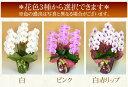 胡蝶蘭【白ボリュームUP中!】金色〜限定ラップ無...