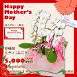母の日【ランランマザー★1】胡蝶蘭 ミディ2本立ち ギフト プレゼント 2016 母の日カード付き!送料無料