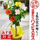 父の日 花 鉢植え ギフト 送料無料 日替わりで花が咲く!の ...
