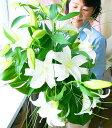 【品質保証★花】【メッセージカード無料】【鮮度保持剤】【送料無料!】最高級カサブランカの花束ラッピングが選べます。?お供えとお祝いの花束?【smtb-KD】10P23oct10