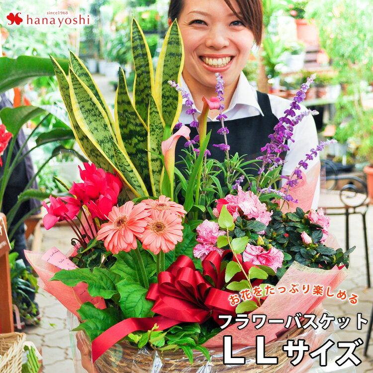 送料無料季節のおまかせ花鉢とグリーンの寄せ入れLLサイズフラワーバスケットお誕生日花開店祝い新築祝い