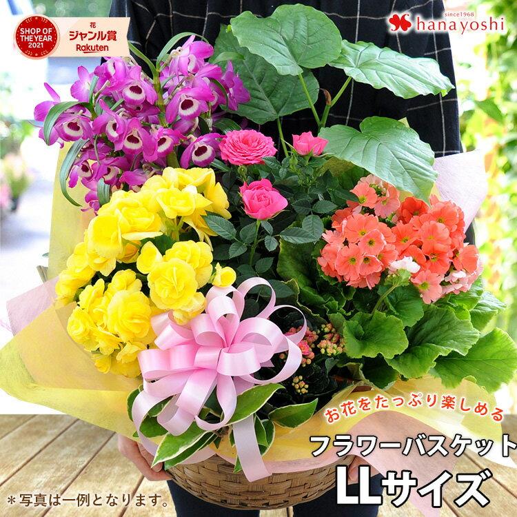 季節のおまかせ花鉢とグリーンの寄せ入れLLサイズ鉢花フラワーバスケットお誕生日お花開店祝い開業祝いお
