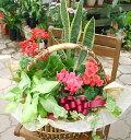 【品質保証★花】【メッセージカード無料】【フラワーバスケット】ほっこり♪レッド系花鉢とグリーンの寄せ入れ