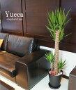 ユッカエレファンティペス青年の木 10号鉢 オフィス 新築祝い 開店祝い 部屋飾りに最適