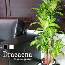 幸福の木 ドラセナ マッサンゲアナ など 選べる観葉植物 8号鉢 約110〜120cm 黒丸鉢/白丸鉢 受け皿付 送料無料