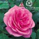 バラ苗/David Austin / デビッド・オースチン/ガートルード・ジェキル (Gertrude Jekyll) 鉢苗 輸入苗 二年生 6リットル鉢植え苗/薔薇/RCP/05P03Sep16/【HLS_DU】