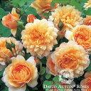 バラ苗/David Austin / デビッド・オースチン/グレイス (Grace) 鉢苗輸入苗 二年生 6リットル鉢植え苗/薔薇/RCP/05P03Sep16/【HLS_DU】