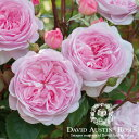 バラ苗/David Austin / デビッド・オースチン/オリビア・ローズ・オースチン(Olivia Rose Austin) 鉢苗 輸入苗 二年生 6リットル鉢植え苗/薔薇/RCP/05P03Sep16/【HLS_DU】