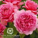 バラ苗 David Austin デビッド・オースチン/プリンセス・アレキサンドラ・オブ・ケント (Princess Alexandra of Kent) 鉢苗 輸入苗 二年生 6リットル 鉢植え苗 薔薇 ばら苗 薔薇苗/RCP/05P03Sep16/【HLS_DU】