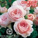 バラ苗/クイーン・オブ・スウェーデン(Queen of Sweden) David Austin/デビッド・オースチン 薔薇/ばら/バラ/苗/RCP/05P03Sep16/【HLS_DU】
