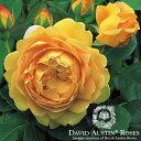 バラ苗/David Austin / デビッド・オースチン/ゴールデン・セレブレーション (Golden Celebration) 鉢苗輸入苗 二年生 6リットル鉢植え苗/薔薇/RCP/05P03Dec16/【HLS_DU】