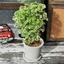 【注文後に丁寧に植え替えます。】ポリシャス 陶器 皿付き 観葉植物 はっぴーくろーばー