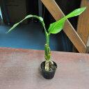 オーガスタ 根上がり ミニサイズ 観葉植物 はっぴーくろーばー