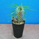 パキポディウム ラメリー 黒鉢 多肉植物 希少植物 はっぴーくろーばー