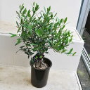 """オリーブ """"ネバディロブランコ"""" 茶鉢 果樹 木 スモールサイズ はっぴーくろーばー"""