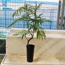 エバーフレッシュ 黒鉢 4寸 観葉植物 はっぴーくろーばー