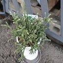"""リプサリス """"ピロパルカ"""" 白トウキ鉢 プラ下皿付き 多肉植物 サボテン 希少植物 はっぴーくろーばー"""