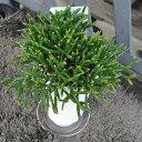 """リプサリス """"バルチェリー"""" 白トウキ鉢 プラ下皿付き 多肉植物 サボテン 希少植物 はっぴーくろーばー"""