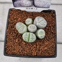 メセンC リトープス ペブルプランツ プラ鉢 多肉植物 希少植物 ミニサイズ はっぴーくろーばー