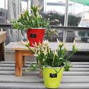 リプサリス ピンクサリー 鉢色2色 希少植物 多肉植物 はっぴーくろーばー