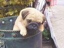 アニマルオブジェ ハンギングドッグ:パグ 犬 置物 インテリア 動物 オブジェ 子犬