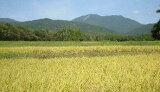 新米【】26年産新潟県佐渡産こしいぶき精米30キロ炊き上がりのツヤが良く、粘りがあり、コシヒカリに匹敵する食味を持っています。*北海道・九州区域は別途送料500