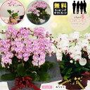 ミニ胡蝶蘭 シェアオーキッド 10号10F (10人分)※ラッピングあり 鉢 花 プレゼント 母の日 父の日 敬老の日