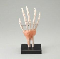 人体模型 手関節模型〜JM-048 標本 理科室...の商品画像