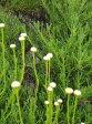 サントリナグリーン(コットンラベンダー・ワタスギギク) ハーブ苗 9vp Santolina Green