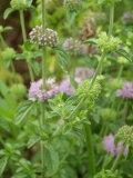 旺盛な繁茂グランドカバーに!お花が可愛い♪ペニーロイヤルミント(メグサハッカ) ハーブ苗 9vp Pennyroyalmint