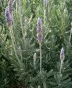 ショッピング苗 デンタータラヴェンダー(フリンジラヴェンダー・フリンジドラヴェンダー・フレンチラヴェンダー・トップドラヴェンダー) ハーブ苗 9vp Dentata Lavender