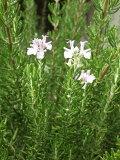 ローズマリーマジョルカピンク:立性ピンク花(マジョルカピンクローズマリー・マンネンロウ・シーデュー) ハーブ苗 9vp Rosemary Majorca Pink