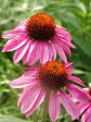 エキナセア(ムラサキバレンギク) ハーブ苗 9vp Echinacea