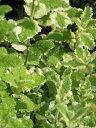 パイナップルミント(白斑) ハーブ苗 9vp Pineapple mint