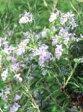 ローズマリーベネンデンブルー:立性青紫色(ベネンデンブルーローズマリー・マンネンロウ・シーデュー) ハーブ苗 9vp Brenenden Blue Rosemary
