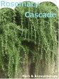 香りのカーテン:カスケードを作ろう♪ローズマリープロストラータス12ポット:匍匐性薄紫色(プロストラータスローズマリー・クリーピングローズマリー・マンネンロウ・シーデュー)  ハーブ苗 9vp Prostratus Rosemary
