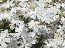 芝桜苗 リットルドット(白色) 10個セット(しばざくら・シバザクラ・モスフロックス)