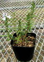 Rockwood Forest rosemary (匍匐性) herb seedling 9vp loss Marinus, まんねんろう
