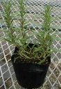 Tuscany blue rosemary (stand the nature) herb seedling 9vp loss Marinus, まんねんろう