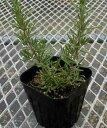 Mallorca pink rosemary (stand the nature) herb seedling 9vp loss Marinus, まんねんろう
