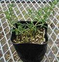プロストラータスローズマリー(匍匐性)ハーブ苗 9vp