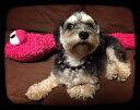 ハーフチョーク 小型犬 スクリューバックスパイク付き 1.5cm幅